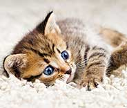 Low Cost Pet Stain Removal | Carpet Cleaning Moorpark
